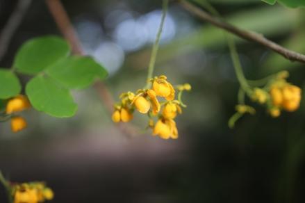 Cassia emaginata leguminosae