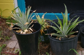 Growing pineapples (Ananas comosus) from pineapple tops!