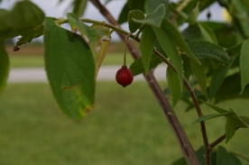 Jamaican strawberry tree