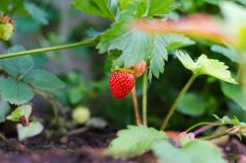 Freshly growing strawberries