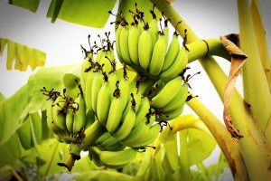 banana-branch-bunch-214158