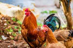 two brown hen and one red rooster